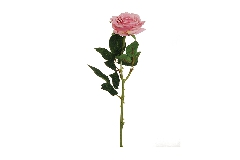 Rosa Ecuador Alta 65 Cm Rosa