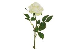 Rosa Ecuador Alta 65 Cm Panna