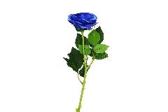 Rosa Ecuador Alta 65 Cm Blu